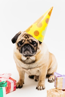 Melancholic cute pug in party hat surrounded by gifts