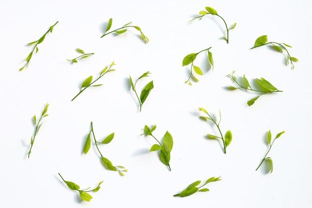 Melientha suavis pierre листья на белой поверхности