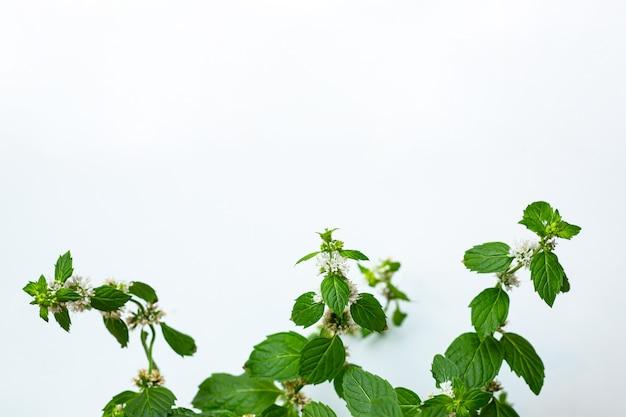 Цветы мелиссы на белом фоне с местом для текста
