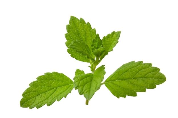 멜리사 약용, 오피시날리스, 요리, 음료, 생선 및 고기에 추가하기 위한 레몬 민트 식물.