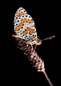 夜、植物、melitaea didymaで眠っている蝶