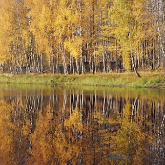 Mellow autumn. birch with yellow leaves reflected in the river.