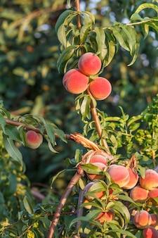 Спелые персики, висящие на дереве в саду.