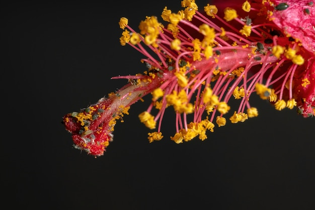 히비스커스 식물에 있는 aphis gossypii 종의 멜론 진딧물 곤충