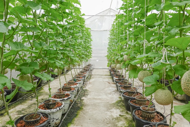 Melon or cantaloupe fruits japanese plant growing row in greenhouse organic cultivation tree garden farm.