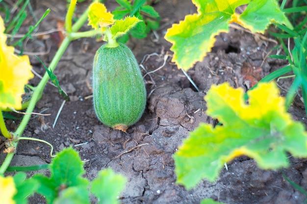 メロン果実の発育。茂みの上の小さな緑の未熟なふわふわエチオピアメロン。セレクティブフォーカス。