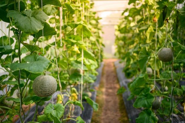 農場で育つメロン果実