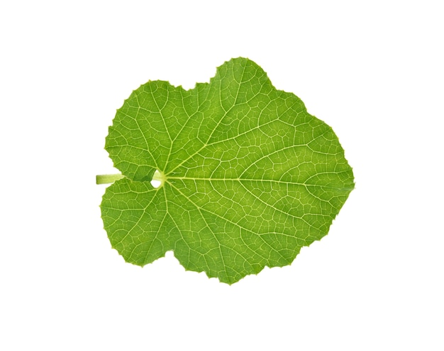 Melon green leaf isolated on white background