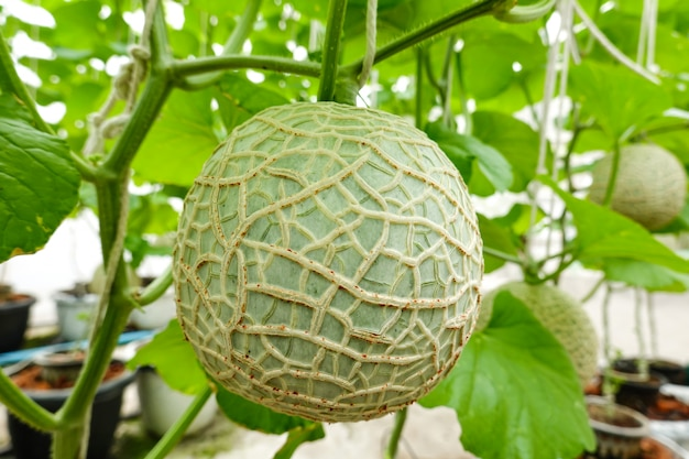 Melon growing in greenhouse organic farm.