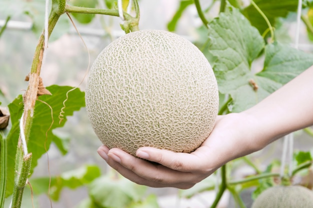 Melon in hand in a greenhouse