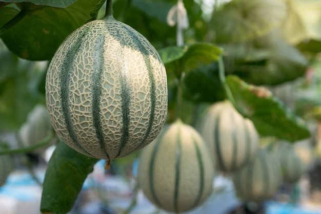 Melons growing in modern hydroponic farming