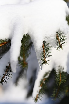 Melting snow in spring a formed icicle on a coniferous tree