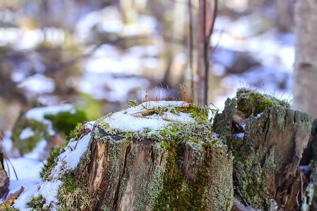 Поверхность тающего снега на пне в солнечном свете в весеннем лесу
