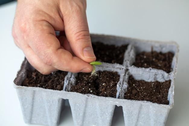 農家の男性は、苗を育てる土地のある鉢に発芽したキュウリの種を植えます