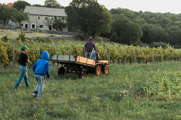 Men collecting grapes in the field