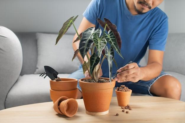 남자 정원사는 나무 테이블에 점토 냄비에 alocasia bambino 화살표 또는 alocasia sanderiana 황소를 이식합니다. 가정 정원의 개념입니다.