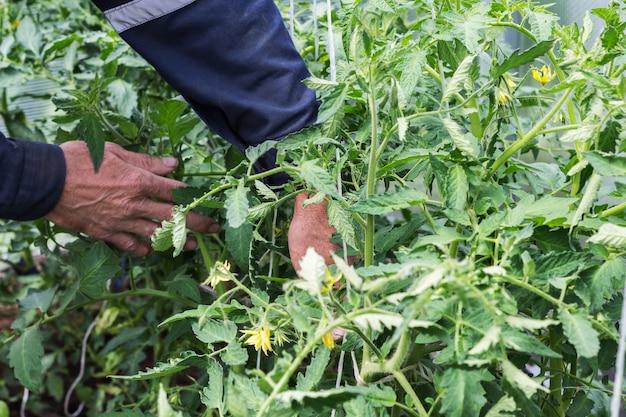 男性の手がトマトの苗を温室のフレームに結び付けます。庭仕事