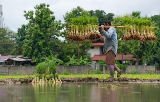 남자는 능선을 걷는 쌀 묘목을 삽입하기 위해 대나무 막대를 사용합니다.