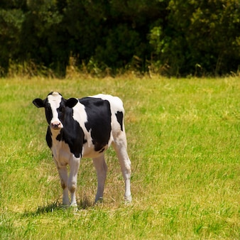 Menorca friesian cow grazing in green meadow at balearic