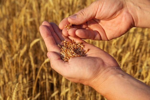Мужские пальмы со спелым зерном пшеницы на фоне поля