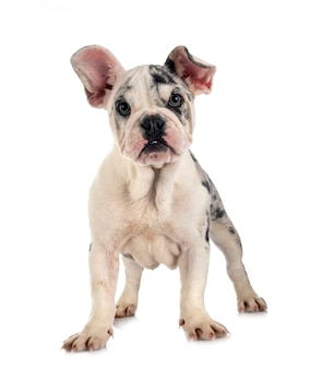 Merle french bulldog in front of white background