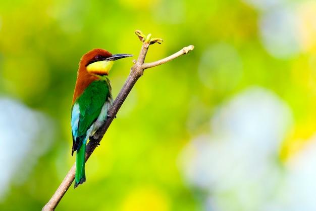 枝に鳥のイメージ。野生動物。栗頭ハチクイ(merops leschenaulti)