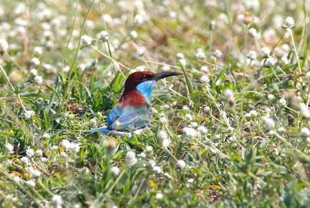 青いのどハチクイmerops viridisタイの美しい鳥