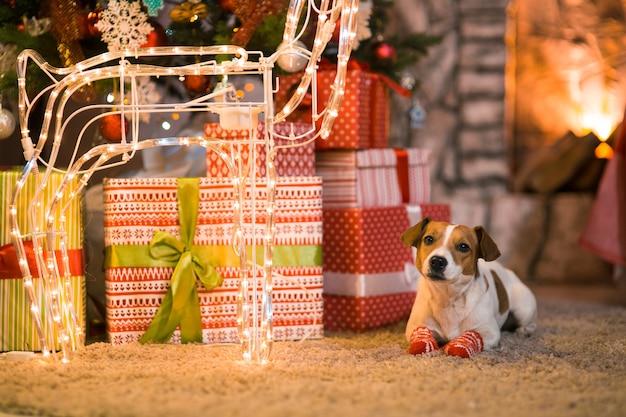 メリークリスマス。ストライプの赤と白の靴下でクリスマスツリーの下の暖炉のそばに家で犬ジャックラッセルテリア。
