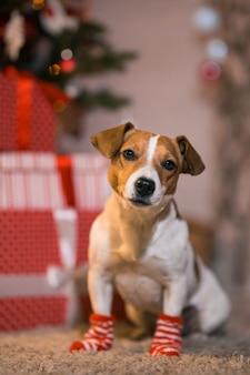 メリークリスマス。ストライプの赤と白の靴下を履いたクリスマスツリーの下で、自宅にいる犬のジャックラッセルテリア。