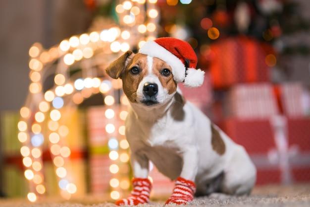 メリークリスマス。縞模様の赤と白の靴下でクリスマスツリーの下に自宅でサンタクロースの帽子の犬ジャックラッセルテリア。