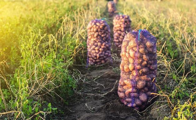 Сетчатые мешки с картофелем на сельскохозяйственном поле. осенний сбор органических овощей