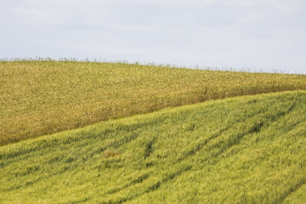 曇り空の下、緑に囲まれた魅惑の美しい麦畑