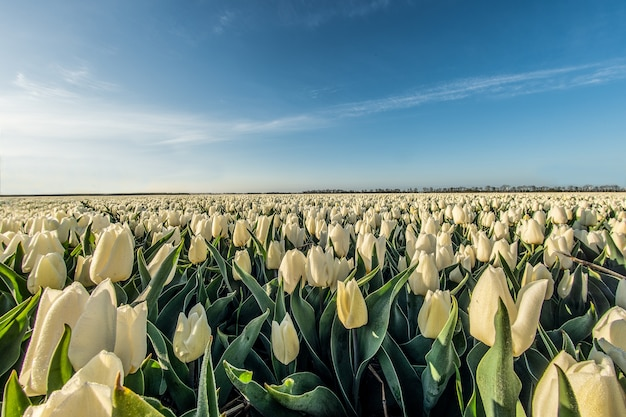 Mesmerizing high angle shot of a white tulip field under the sunlight