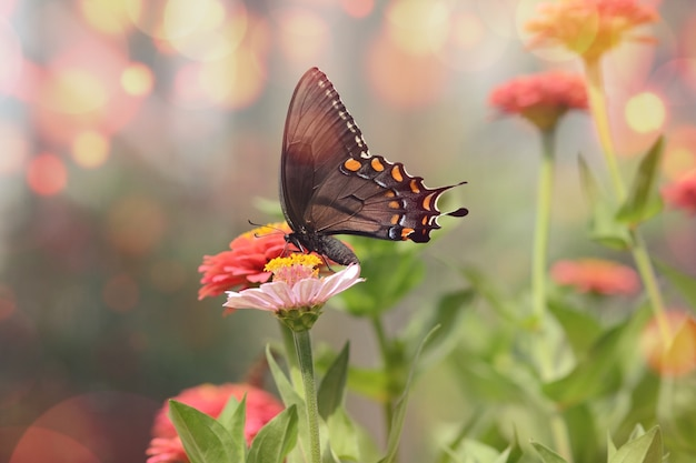 Mesmerizing macro picture of a little black satyrium butterfly on a pink flower