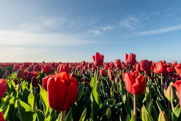 日光の下で赤いチューリップ畑の魅惑的な写真