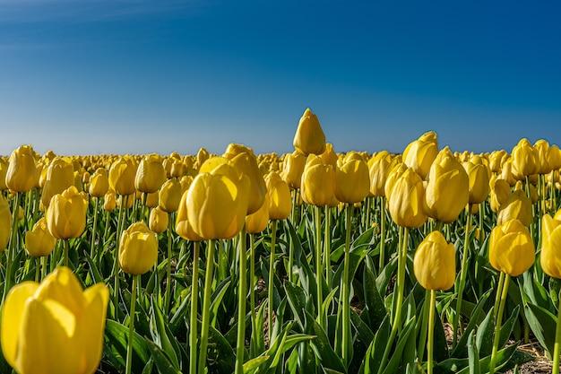 日光の下で黄色いチューリップ畑の魅惑的な写真