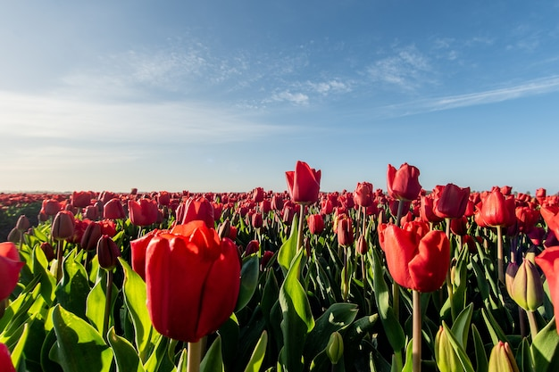Mesmerizing picture of a red tulip field under the sunlight