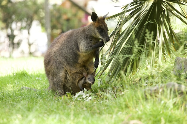 Mesmerizing shot of an adorable wallaby kangaroo with a baby in the pouch
