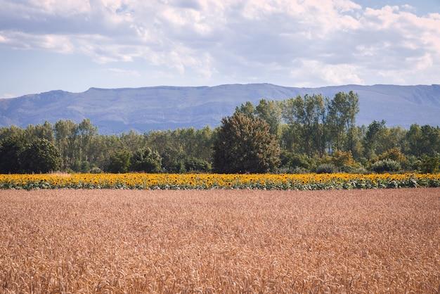 아름다운 밀과 해바라기 밭의 매혹적인 샷