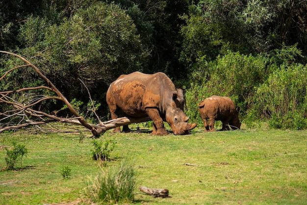 Mesmerizing shot of rhinoceroses on the green grass at daytime
