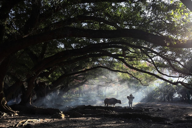 Mesmerizing view of a chinese villager with a cow in the forest during sunrise in  xia pu, china