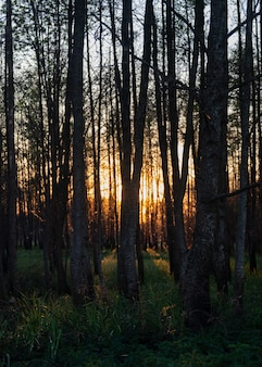 Завораживающий вид на высокие деревья и траву в лесу во время заката.