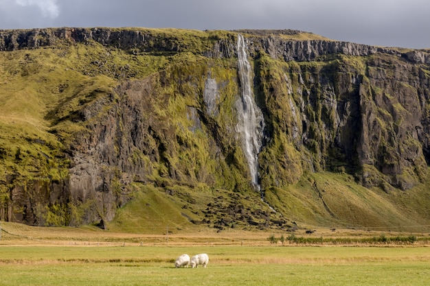 アイスランドの前景に羊が放牧されている滝の魅惑的な景色
