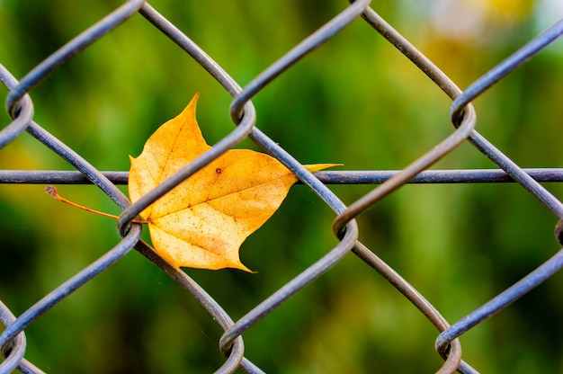 Mesmerizing view of a yellow leaf stuck on a metal fence in the park
