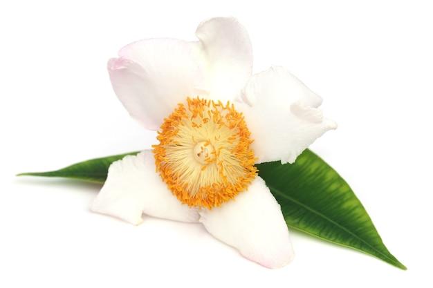 흰색 배경 위에 인도 아대륙의 메수아 페레아 또는 나게슈와르 꽃