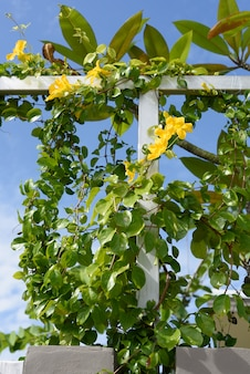 Metal fence with beautiful yellow flowers against summer blue sky, cat's claw, catclaw vine, cat's claw creeper plants