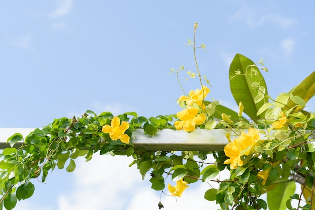 Metal fence with beautiful yellow flowers against summer blue sky,cat's claw, catclaw vine, cat's claw creeper plants