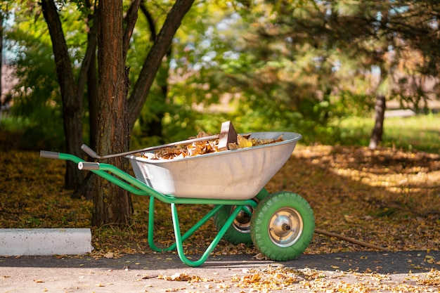 A metal wheelbarrow for a gardener who collects fallen yellow leaves into it in a park