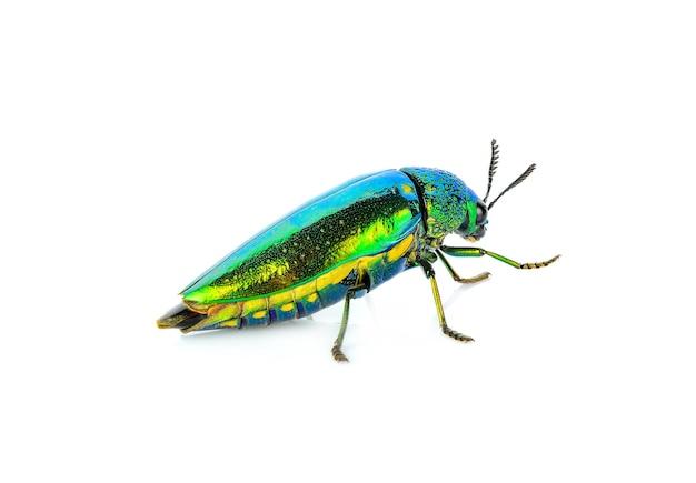 Metallic wood-boring beetle isolated on white .