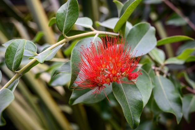 Metrosideros. bright red flower. botanical garden. beautiful green plants